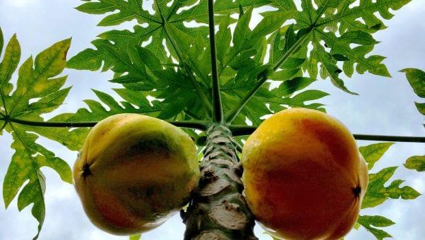 Eleven health benefits of {pawpaw} papayas