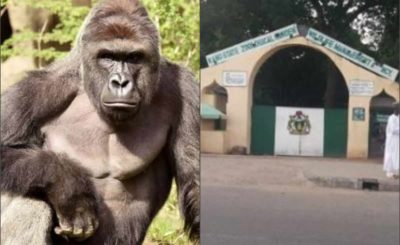 Gorilla swallows N6.8 million Kano Zoo -finance officer claims