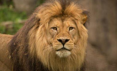 Kruger National Park south africa lions