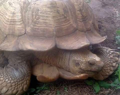 oldest tortoise in Africa alagba